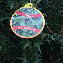 Hedera Helix Sagittifolia
