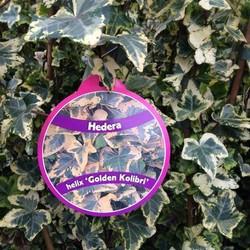 Hedera Helix Golden Kolibri