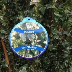 Hedera Helix 'Kolibri'
