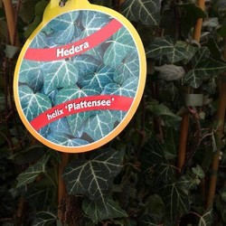 Hedera helix 'Plattensee'