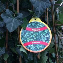 Hedera Hibernica 80-100cm