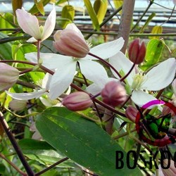 Bosrank armandii 'Apple Blossom'
