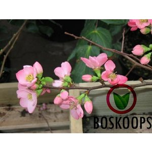 Chaenomeles sup. 'Pink Lady'