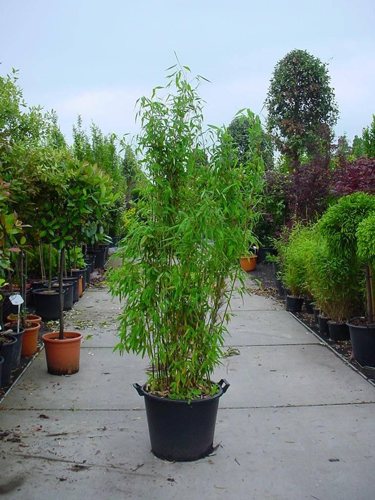 Bamboe fargesia murieliae voordelig kopen bij online tuincentrum - Winkel bamboe ...