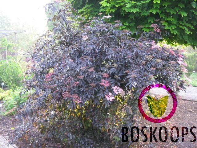 sambucus nigra black beauty kopen bij tuincentrum online tuincentrum. Black Bedroom Furniture Sets. Home Design Ideas