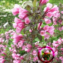 Weigela florida 'Nana Purpurea'