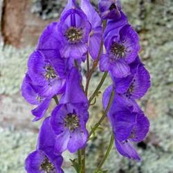 Aconitum Arendsii