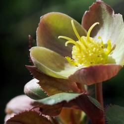 Helleborus sternii rozerood