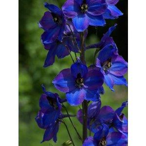 Delphinium Dark Blue