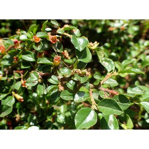 Cotoneaster cochleatus