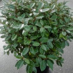 Elaeagnus Ebbingei Bol struik
