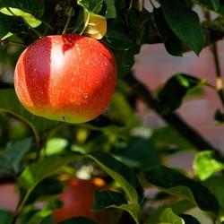 Appelboom 50-60cm