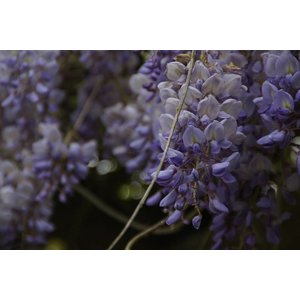 Wisteria klimplant OUTLET