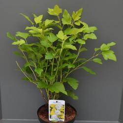 Physocarpus opu. 'Dart's Gold'
