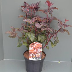 Physocarpus opulif. Lady in Red