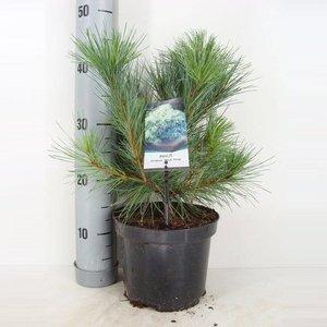 Pinus strobus 'Blue Shag' (Radiata)