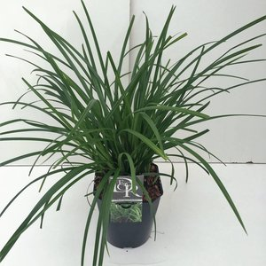 Carex Irish Green