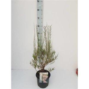 Tamarix ramosissima 'Rubra'