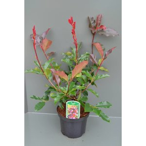 Photinia fraseri 'Camilvy'