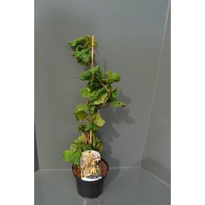 Corylus Hazelaar Groen