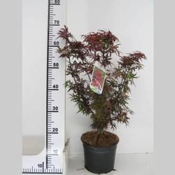 Acer palmatum 'Shaina'
