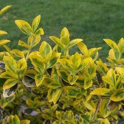 Euonymus Emerald Gold op stam
