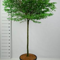 Euonymus Alatus Compactus op stam
