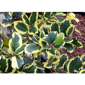 Ilex Altaclerencis Golden King