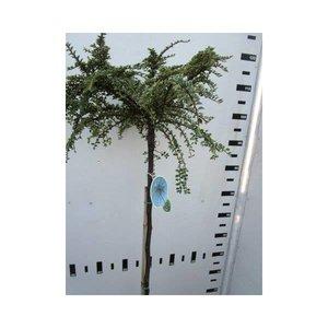 Cotoneaster atrop. Variegatus