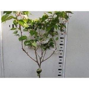 Prunus Ser. Shimidsu