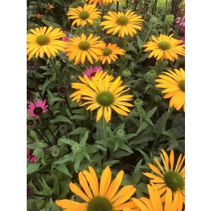 Echinacea Yellow Shades