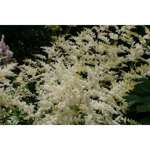 Astilbe Visions in White