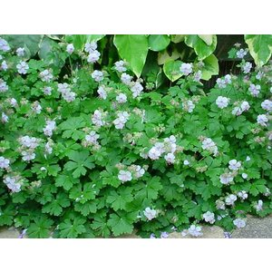 Geranium can. 'Biokovo'wit