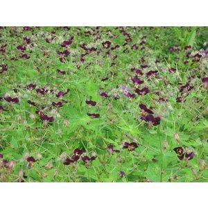 Geranium pha. 'Samobor' dpaars