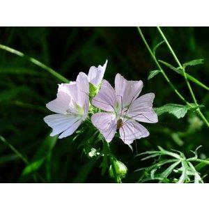 Geranium oxo. 'Rose Clair'