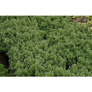 Hebe Pinquifolia Sutherlandii