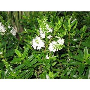 Hebe Buxifolia Nana