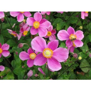 Anemone hyb. 'Little Princess'