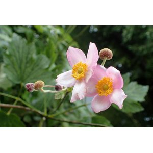 Anemone tom. 'Robustissima'