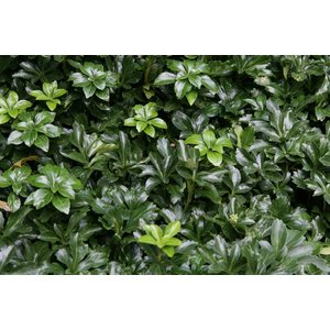 Pachysandra 'Green Sheen'