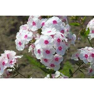 Phlox (P) Bright Eyes