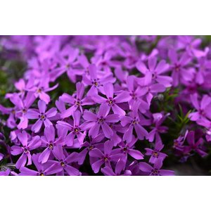 Phlox (S) 'Purple Beauty'