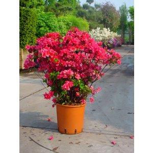 Rhododendron Kermesina