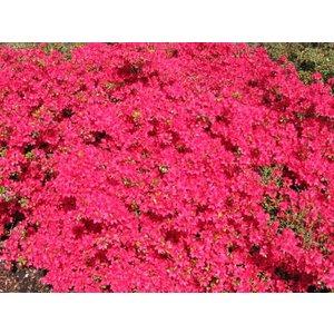 Rhododendron Hino Crimson
