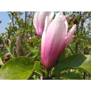 Magnolia 'Heaven Scent' (Beverboom)