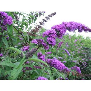 Buddleja Border Beauty