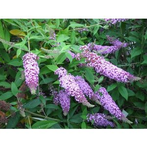 Buddleja davidii 'Fascinating'