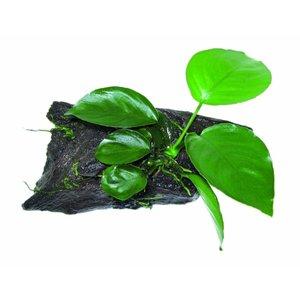 Waterplant Wood Anubias SS