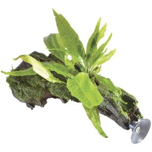 Waterplant Microsorium Pteropus op zweefhout