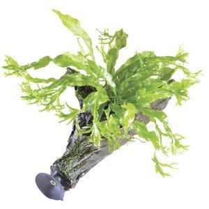 Waterplant Microsorium Windelov op zweefhout